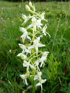 Platanthera_bifolia_(massif_des_Vosges)