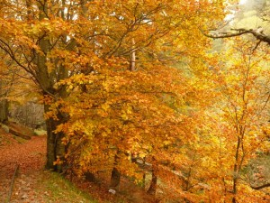 Flaming_beech_in_a_forest_in_Alsace